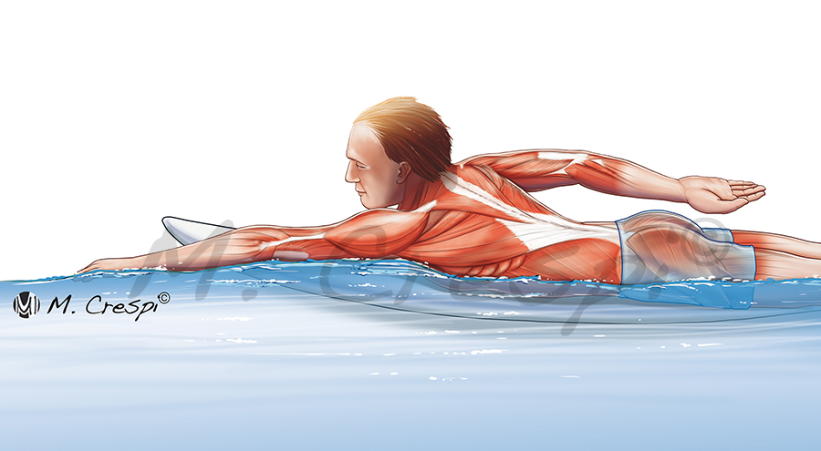 Muscles working during surf paddling