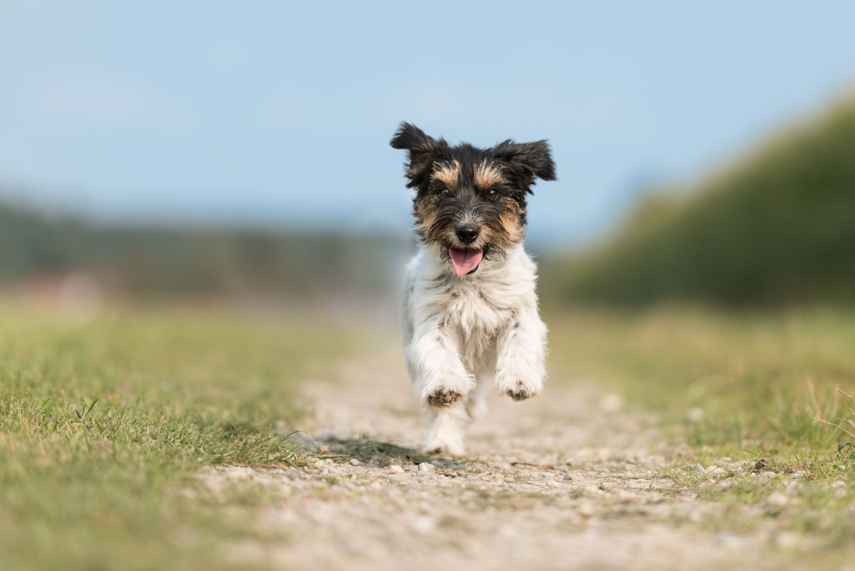 jack-russell-terrier-female-years-old-cute-little-dog-running-fast-and-joyfully-on-a-road-gravel-path-beside-the-green-meadow-against-a-blue-sky-in-springjpg
