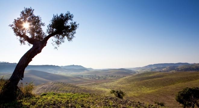 Spumarche - Vino e Dintorni - Fattoria San Sebastiano - Strongoli, il giovane impianto - vetusto ulivo sentinella