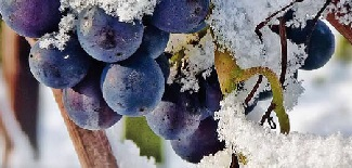 Spumarche - Vino e Dintorni - Eiswein - Burgenland - Austria
