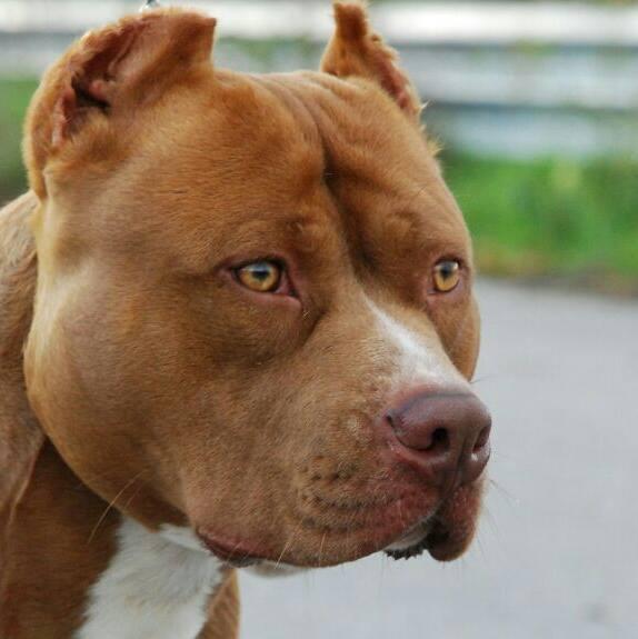 Standard pitbull ukc - Cane occhi azzurri ...