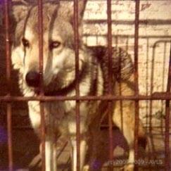 associazione cane lupo di saarloos