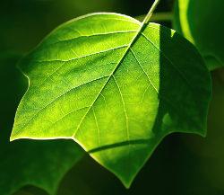 foglia verde clorofilla