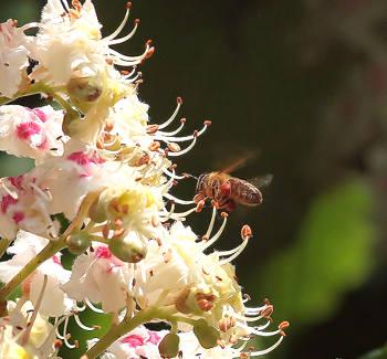 ape fiore castagno