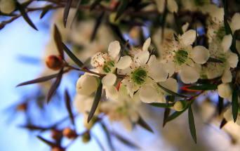 manuka fiori fiore