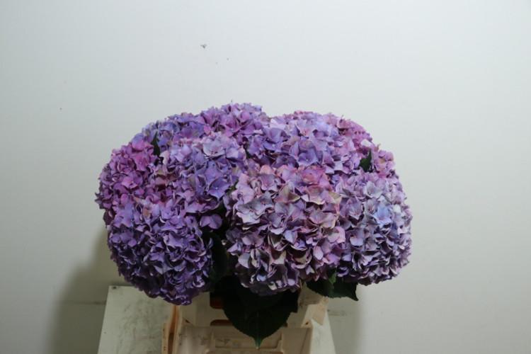Anthurium Peruzzi