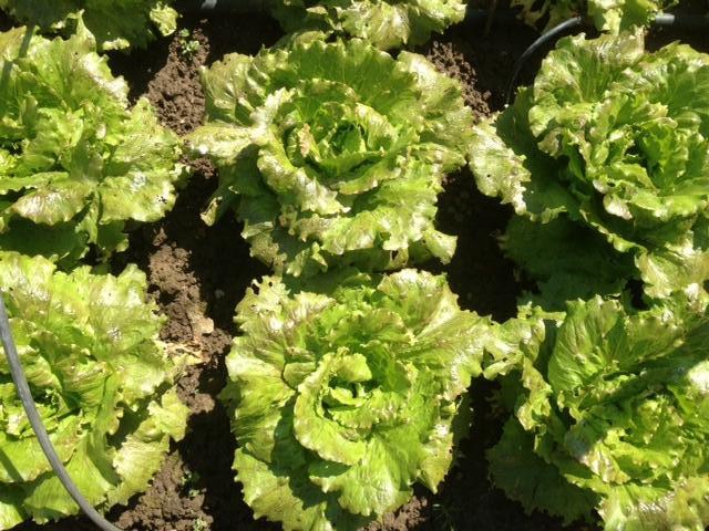 Come coltivare la lattuga da cespo - Cimice del pomodoro ...