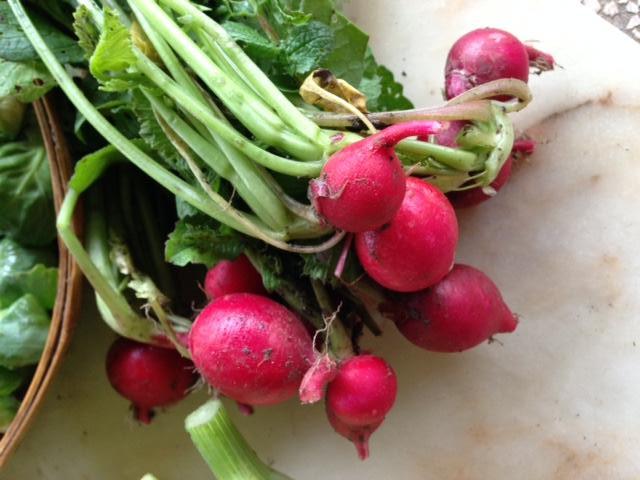 Come coltivare il ravanello - Cimice del pomodoro ...