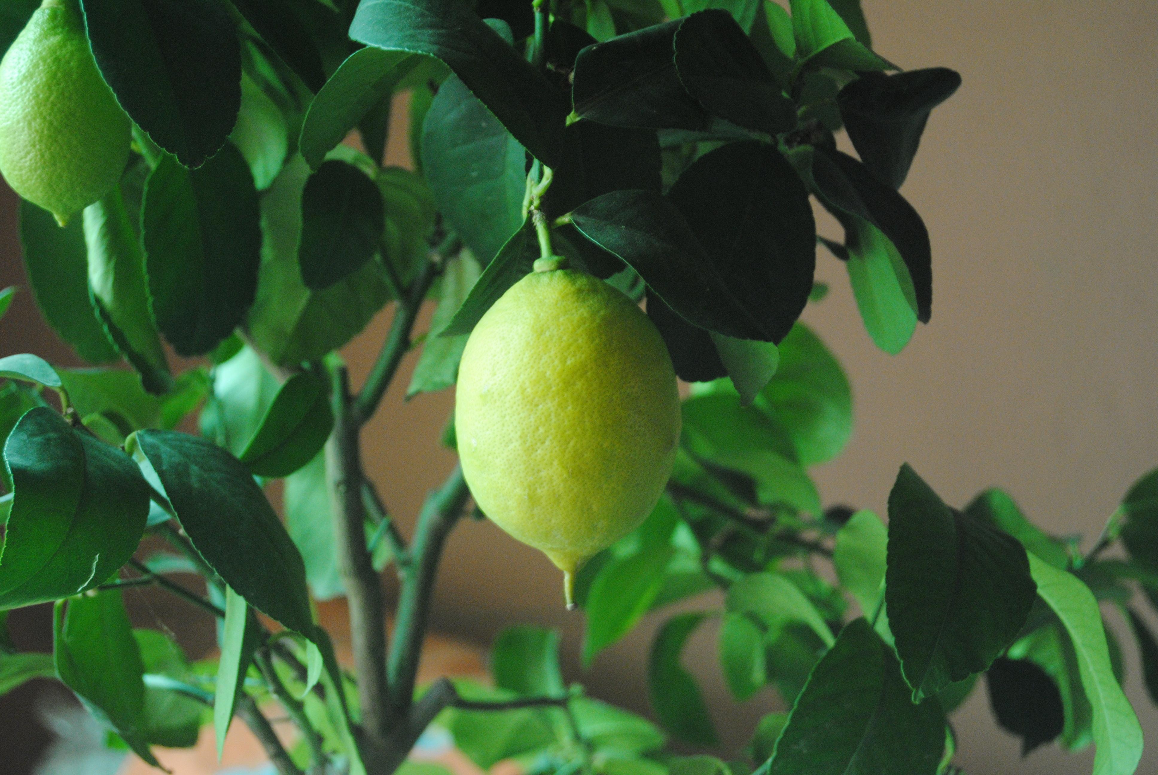 Come coltivare il limone in vaso for Coltivare limoni