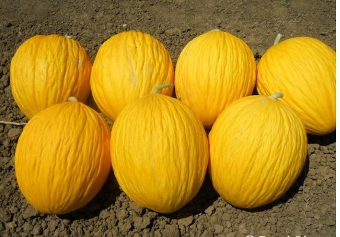 Anguria e melone gialletto siciliani molto richiesti da for Coltivare meloni