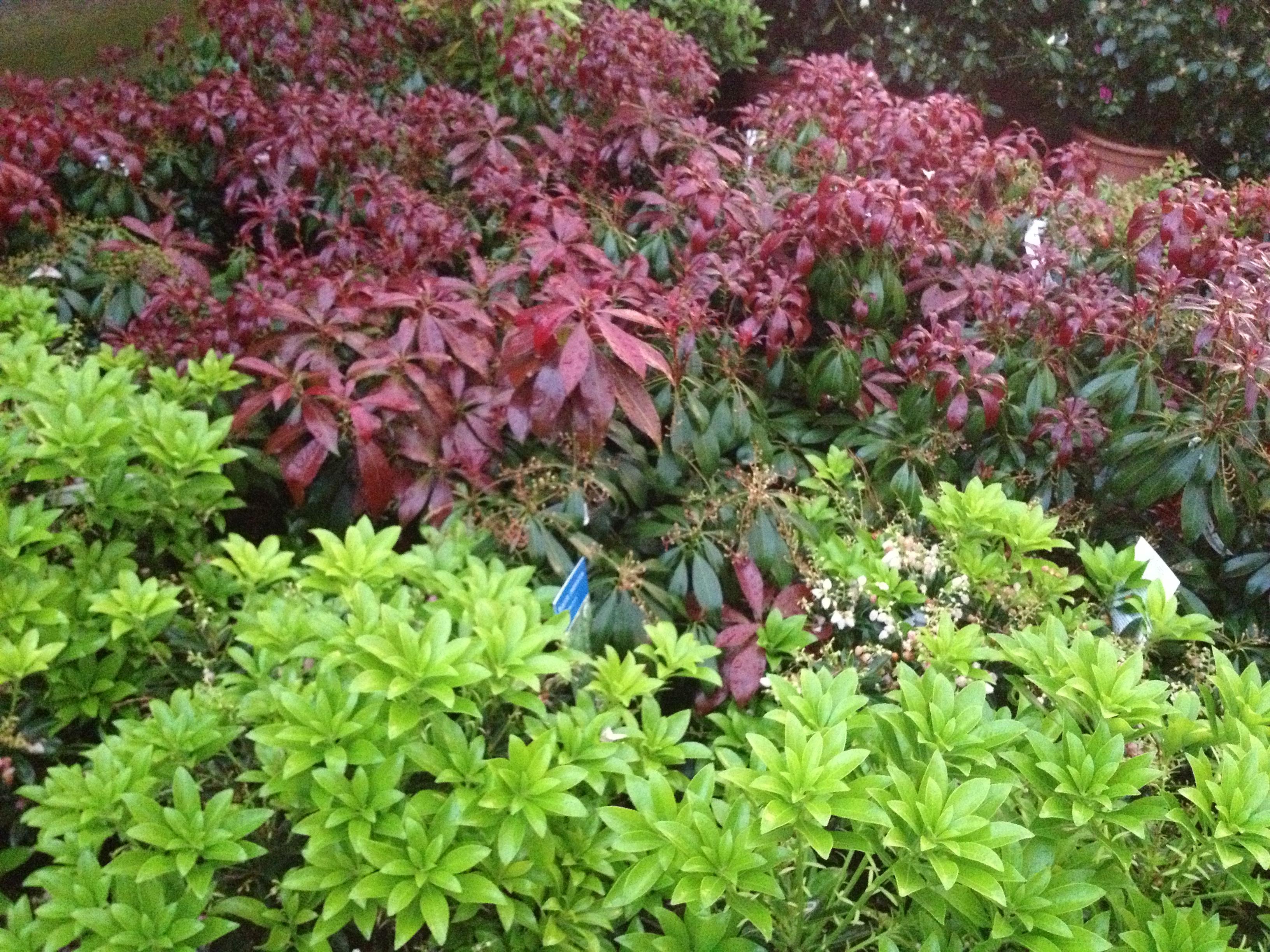 Arbusti da fiore e sempreverdi for Pianta da esterno