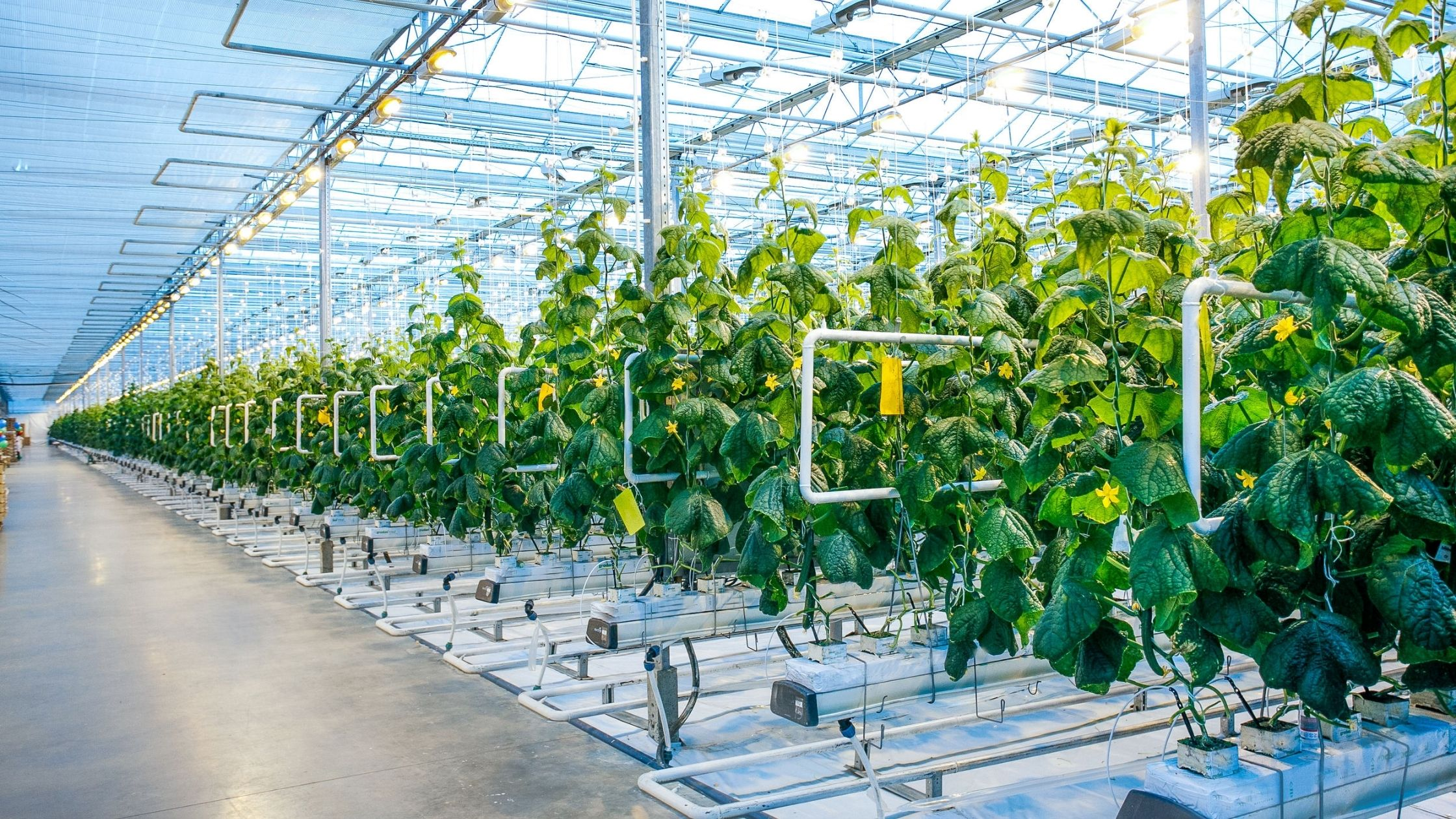 ITC LTD-STRUCTURE STERILE HYDROPONIC GREENHOUSE