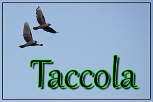 Taccola-anteprimajpg