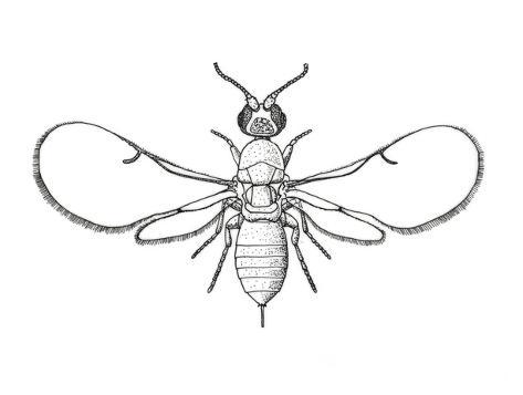 fig-wasp-agaonidae-hymenoptera-drawing_a-G-13678543-4985774jpg