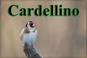 Cardellino-anteprimajpg
