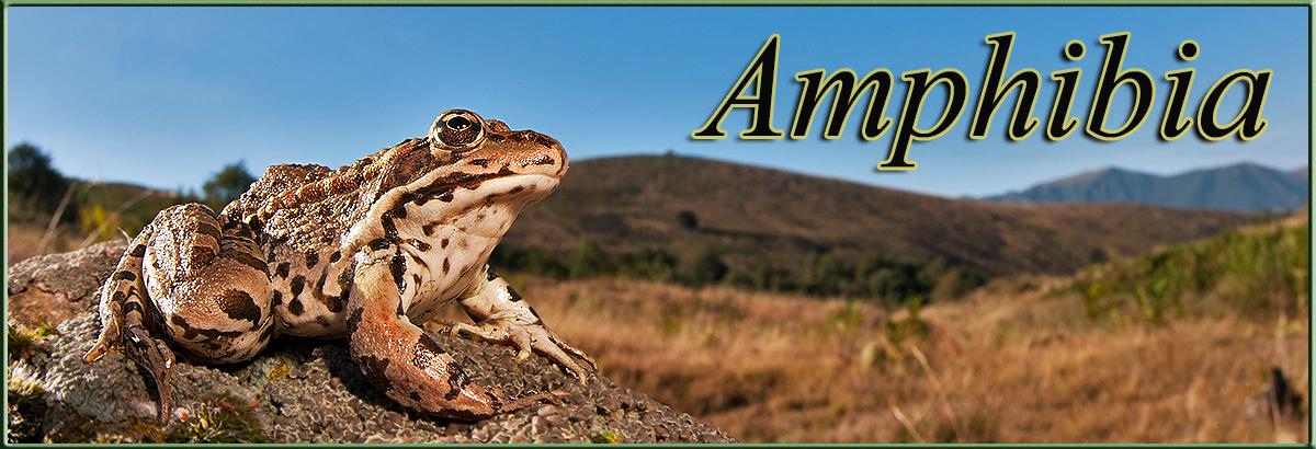 Amphibiajpg