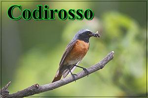 Codirosso-anteprimajpg