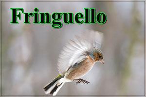 Fringuello-anteprimajpg