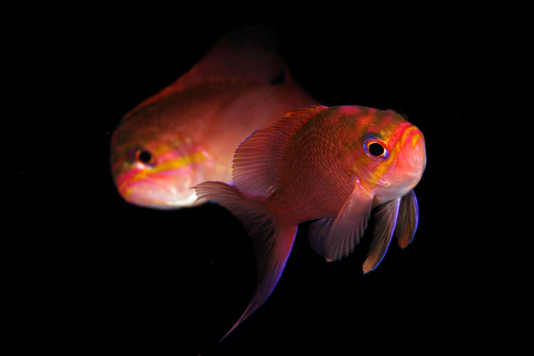 anthias-anthias panarea dattilo eolosub immersioni