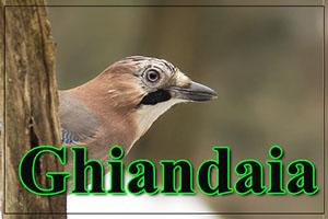 Ghiandaia-anteprimajpg