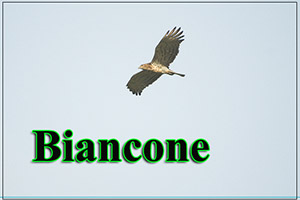 Biancone-anteprimajpg