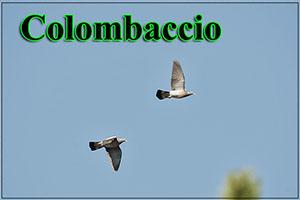 Colombaccio-anteprimajpg