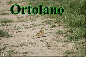 Ortolano-anteprimajpg