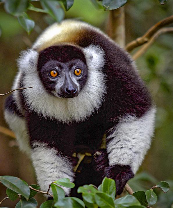Lamico lemurejpg