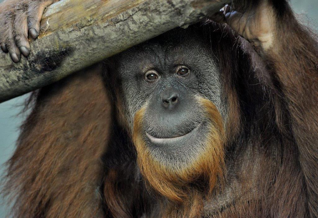 zoe orangutanjpg
