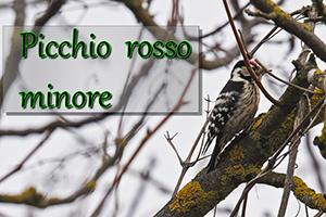 Picchio-r-min-anteprimajpg