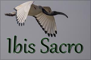 Ibis-sacro-anteprimajpg