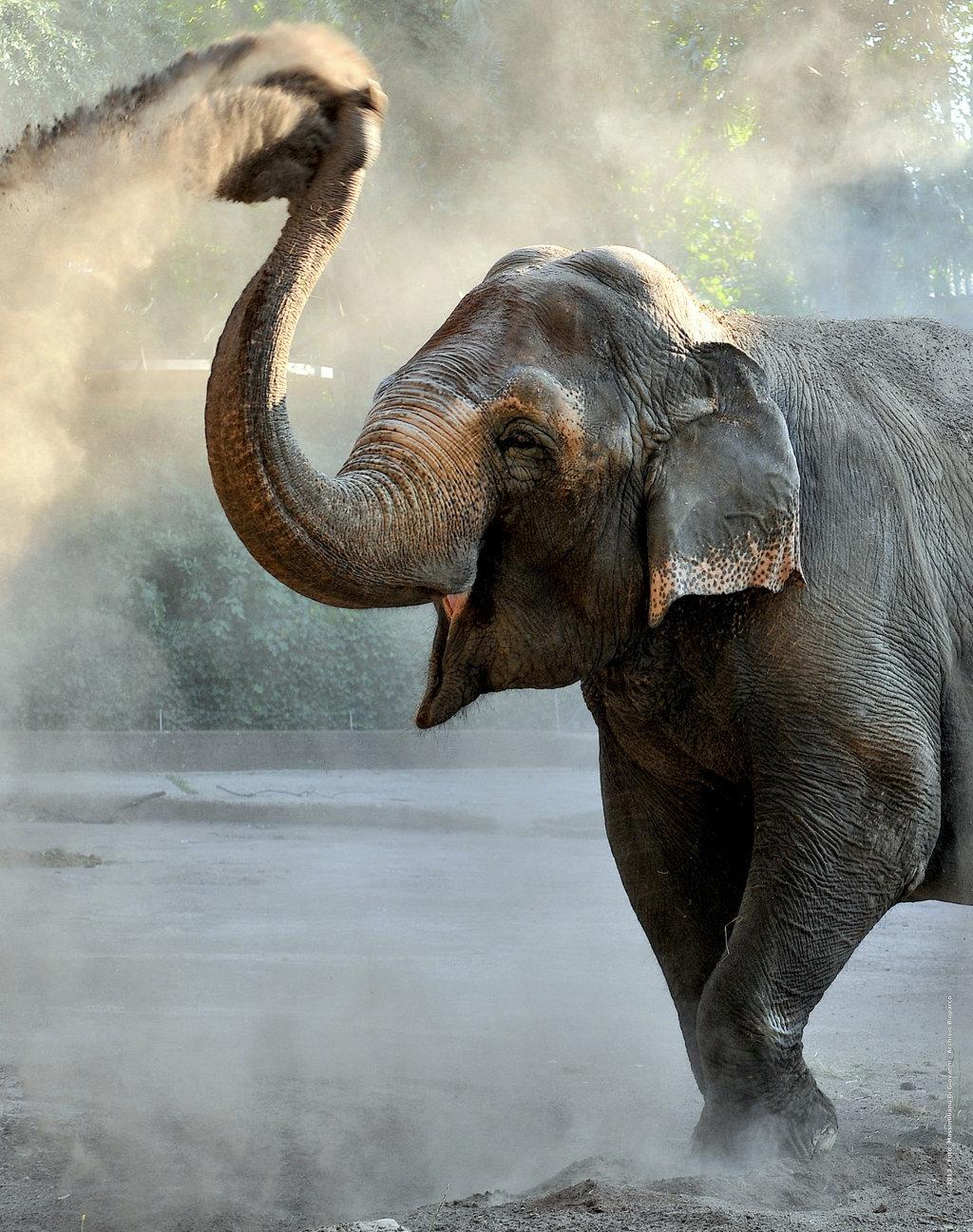 Elefante asiatico _ Foto Massimiliano Di Giovanni - Archivio Bioparco LAKSHMI FILEminimizerjpg