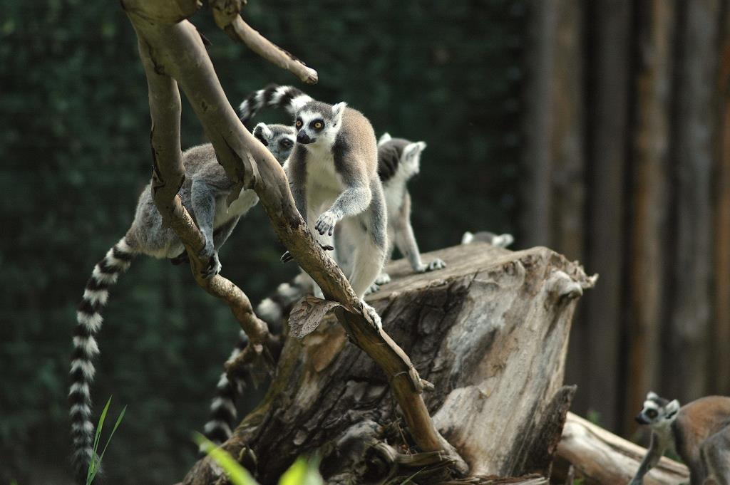 Lemuri catta_alberojpg