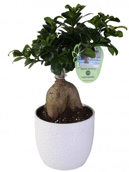 BONSAI F. GINSENG 250 GR. IN VASO BOSTON