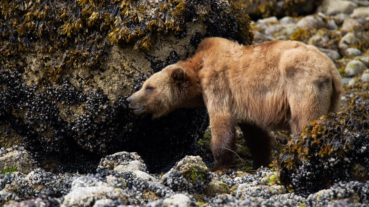 Grizzly - Ursus arctos horribilis Great Bear Rainforest British Columbia Canada