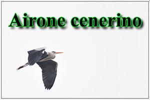 Airone Cenerino-anteprimajpg