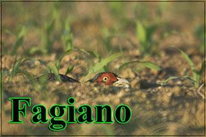Fagiano-anteprimajpg