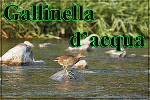Gallinella-anteprimajpg