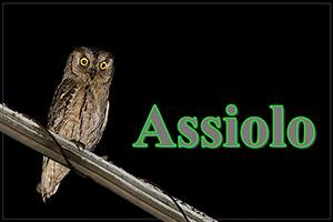 Assiolo-anteprimajpg