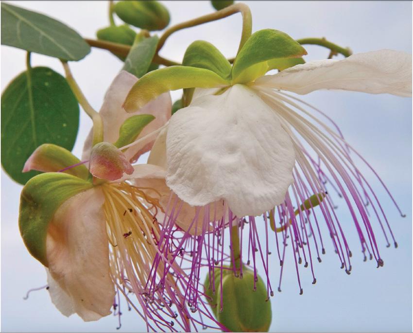 fiore di capperojpeg