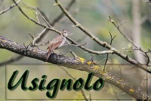 usignolo-anteprimajpg