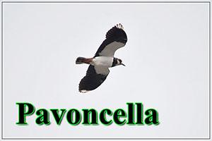 Pavoncella-anteprimajpg
