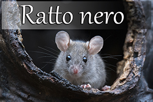 rattonero-anteprimajpg