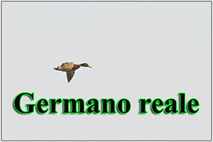germano-anteprimajpg