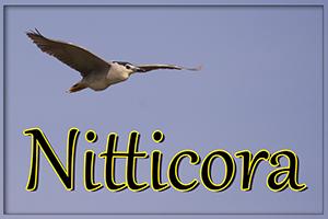 nitticora-anteprimajpg