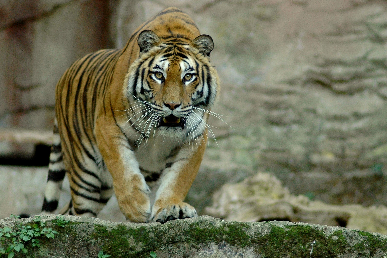 Tigre siberiana _ Foto Massimiliano Di Giovanni - Archivio Bioparco 11jpg