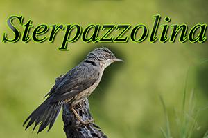 Sterpazzolina-anteprimajpg