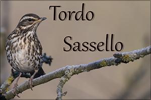 Tordo Sassello-anteprimajpg