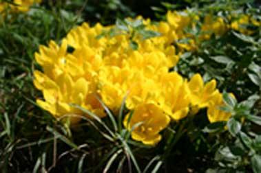 fiori-giallijpg