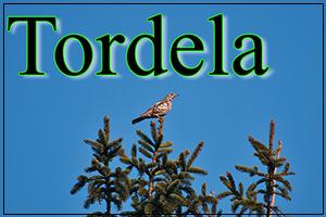 Tordela-anteprimajpg